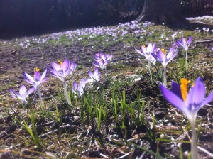 Wild crocuses in late March, just after the snow melted.