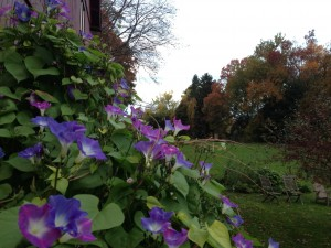 The morning glories finally bloomed at our house.